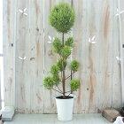 コニファーゴールドクレストスタンダード仕立て4号鉢観葉植物ガーデニングトピアリー
