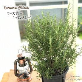 ローズマリー マリンブルー 6号鉢 送料無料 ハーブ 庭木