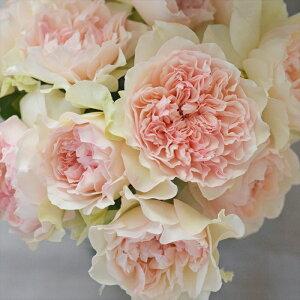 予約販売 バラ大苗 河本バラ園 クロッシェ 四季咲き ピンク バラ 薔薇 バラ苗 hao 12月上旬以降発送