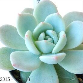 多肉植物 skエケベリア ラウリンゼ 多肉植物 エケベリア 7.5cmポット