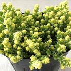 seセダムアクレアウレウムエレガンス(多肉植物・9cmポット)