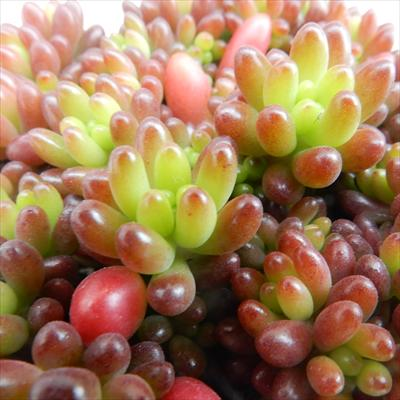 seセダム ばらまき虹の玉(多肉植物 ニジノタマ セダム 7.5cmポット)