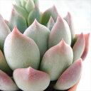 多肉植物 yukエケベリア ラウリンゼ×錦晃星 多肉植物 優木園さんの苗 エケベリア 6cmポット