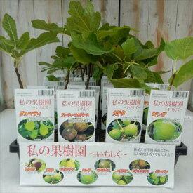 選べるいちじく イチジク 鉢植え専用柑橘苗 9cm ポット