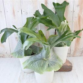 コウモリラン プラティセリウム グランデ 観葉植物 5号鉢