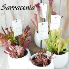 選べるサラセニア食虫植物4.5号鉢