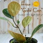 フィカスゴールドコイン4号鉢ゴムの木観葉植物
