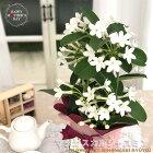母の日ギフトマダガスカルジャスミン4号鉢送料無料ギフト贈り物プレゼント