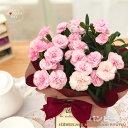 早得 母の日 ギフト カーネーション バンビーノ 4号鉢 送料無料 贈り物 プレゼント 花 鉢植え