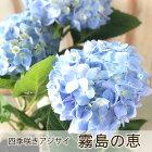 四季咲あじさい霧島の恵アジサイ紫陽花9cmポット苗