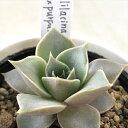 多肉植物 yukエケベリア lilacina×purpusorum 多肉植物 優木園さんの苗 エケベリア 6cmポット