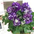 母の日ギフトクレマチス新紫玉5号鉢送料無料ギフト贈り物プレゼント