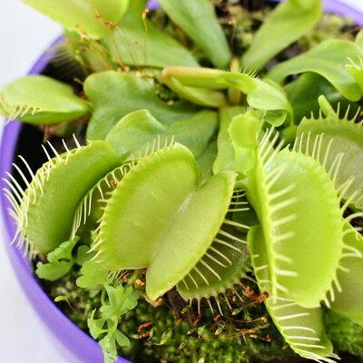 ハエトリソウ グリーン 食虫植物 9cmポット