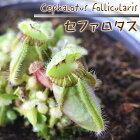 セファロタス食虫植物3.5号鉢