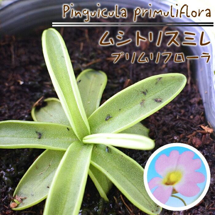 ムシトリスミレ プリムリフローラ 食虫植物 3.5号鉢