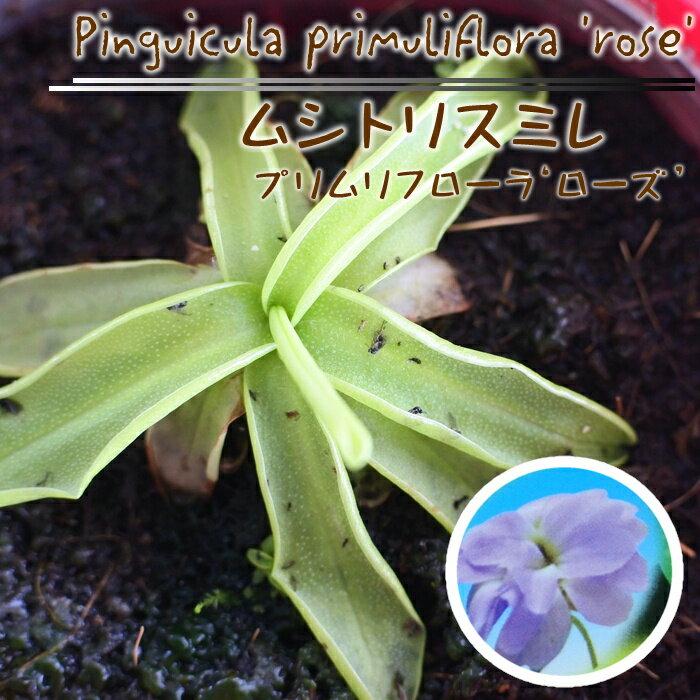 ムシトリスミレ プリムリフローラ ローズ 食虫植物 3.5号鉢