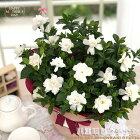 母の日ギフトガーデニア八重咲きクチナシ5号鉢送料無料ギフト贈り物プレゼント