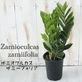 ザミオクルカス ザミーフォリア 4号鉢 観葉植物
