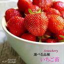 予約販売10月上旬以降発送 選べるいちご苗 9cmポット イチゴ 苺
