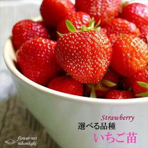 予約販売 選べるいちご苗 9cmポット イチゴ 苺 いちご 10月上旬以降発送