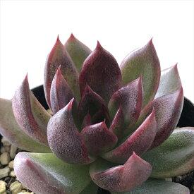 多肉植物 swkエケベリア ブラッドマリア 多肉植物 エケベリア 7.5cmポット