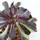 swkアエオニウムカメレオン多肉植物アエオニウム7.5cmポット