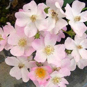 予約販売 バラ苗 バラ大苗 バレリーナ つるバラ 四季咲き 薔薇 バラ troe 12月上旬以降発送