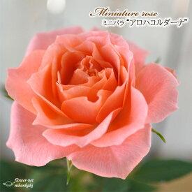 予約販売 ミニバラ アロハコルダーナ 3号ポット バラ 薔薇 バラ苗 苗 mnu 10月下旬以降発送