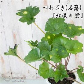 つわぶき(石蕗)紅葉々蛍 4号鉢 つわぶき 山野草 花苗 ツワブキ