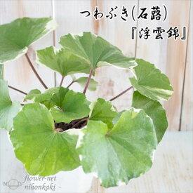 つわぶき(石蕗)浮雲錦 4号鉢 つわぶき 山野草 花苗 ツワブキ