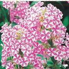 宿根草の咲く庭フロックスナターシャ大苗12cmポット