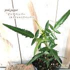 ピンクペッパー苗9cmポットカリフォルニアペッパーコショウコショウボクペッパーベリー香辛料ドライフラワー