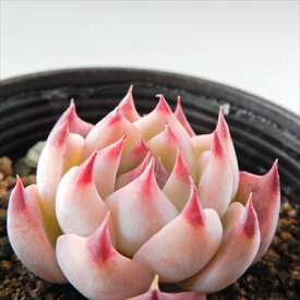 多肉植物 hmエケベリア 桃太郎 多肉植物 エケベリア 6cmポット