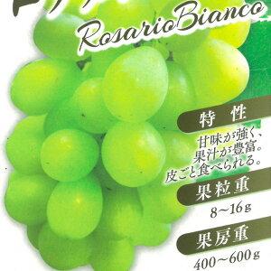 ブドウ ロザリオビアンコ ぶどう苗 葡萄 果樹苗 10.5cmポット