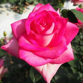 予約販売 バラ苗 バラ大苗 アンジェロゼ 四季咲き 大輪 薔薇 バラ troe 12月上旬以降発送