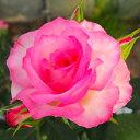 バラ大苗 バラ 苗 薔薇 ストロベリーアイス F 予約販売
