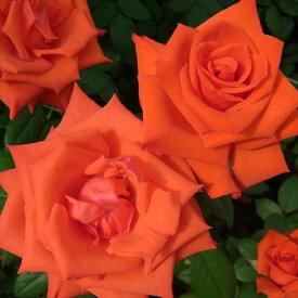 予約販売 バラ苗 バラ大苗 マジックモーメント 四季咲き 大輪 薔薇 バラ troe 12月上旬以降発送