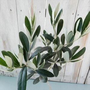 オリーブ レッチーノ 観葉植物 オリーブの木 苗 10.5cmポット シンボルツリー 庭木 果樹