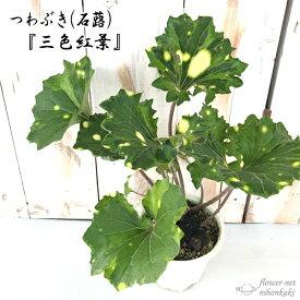 つわぶき(石蕗)三色紅葉 4号鉢 つわぶき 山野草 花苗 ツワブキ