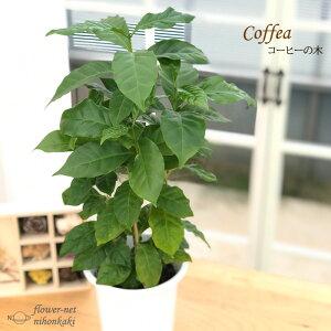 コーヒーの木 4号鉢 苗 観葉植物 コーヒー インテリア