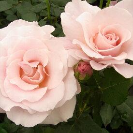予約販売 バラ苗 バラ大苗 ピンクフレンチレース 四季咲き 中輪 薔薇 バラ troe 12月上旬以降発送