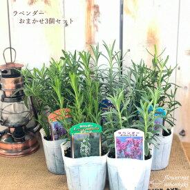 ラベンダー おまかせ 3個セット ハーブ 9cmポット 鉢花 ガーデニング