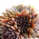 多肉植物 shセンペルビウム コーラルレッド 多肉植物 センペルビウム 9cmポット
