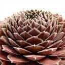 多肉植物 shセンペルビウム チェリーベリー 多肉植物 センペルビウム 9cmポット