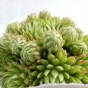 多肉植物 shセンペルビウム キィライムキス 多肉植物 センペルビウム 9cmポット