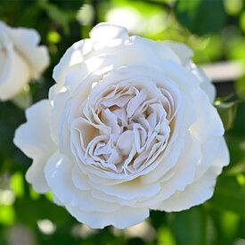 予約販売 バラ苗 バラ大苗 デルバール パブロワ 品種登録出願中 四季咲き 白 薔薇 バラ hao 12月上旬以降発送