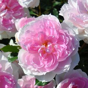 予約販売 バラ大苗 ロサ オリエンティス シャリマー 四季咲き ピンク 薔薇 バラ苗 hao 12月上旬以降発送