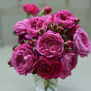 予約販売 バラ大苗 河本バラ園 カルトナージュ 四季咲き 赤紫 薔薇 バラ バラ苗 hao 12月上旬以降発送