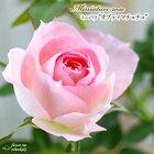 ミニバラオプティマチュチュ3号ポットバラ薔薇バラ苗苗mnu