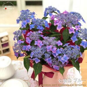 早割 母の日 ギフト アジサイ 七変化ブルー 5号鉢 送料無料 贈り物 プレゼント あじさい 紫陽花 花 鉢植え